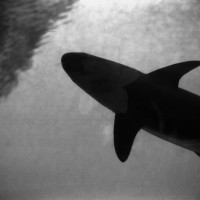 36 Nassau in Black and White-Shark
